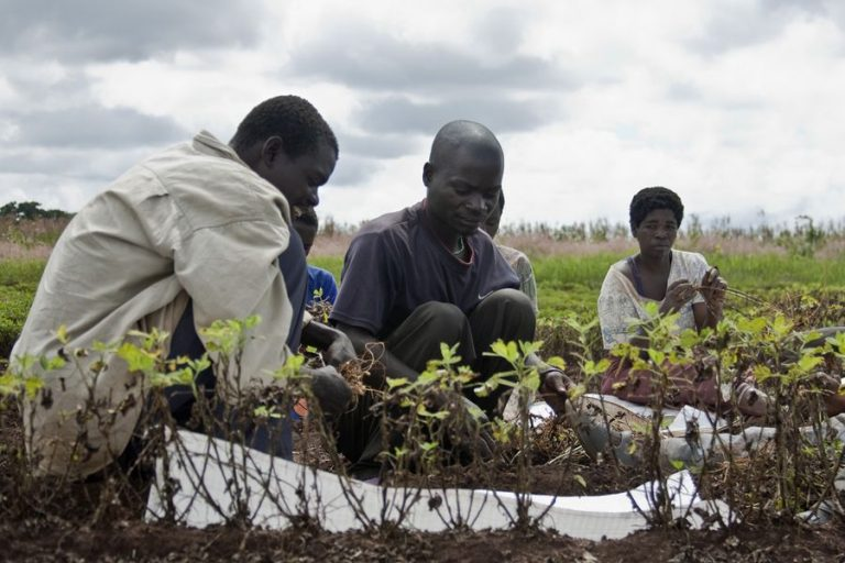 Malawi gives green light to cannabis production for industrial and medicinal use